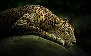 Picture look, predator, leopard
