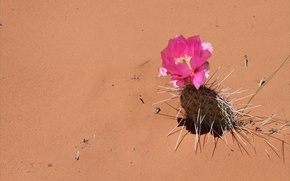 Wallpaper needles, desert, cactus, flower, sand