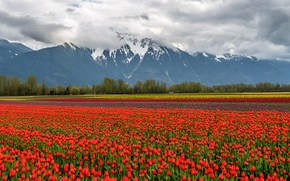 Picture flowers, snow, mountains, nature, tulips, field, landscape, clouds