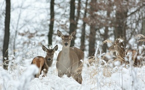 Picture winter, forest, grass, snow, trees, deer, bokeh