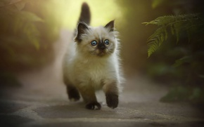Picture cat, nature, kitty, fluffy, small, walk, the beauty, fern, path, is, Siamese, blue-eyed, bold, ragdoll, ...