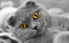 Picture cat, look, Scottish fold, Scottish Fold
