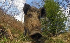 Picture nature, background, boar