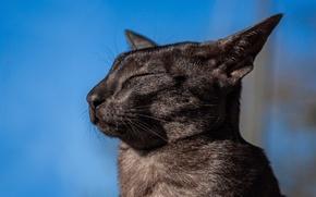 Wallpaper portrait, muzzle, profile, Oriental cat