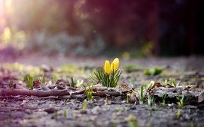 Picture flower, grass, leaves, flowers, branches, nature, earth, foliage, spring, yellow, crocuses