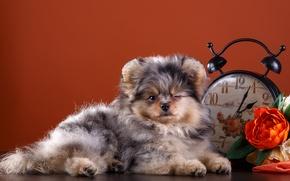 Picture flowers, watch, cute, puppy, Spitz, blink