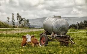 Picture field, summer, cow, village