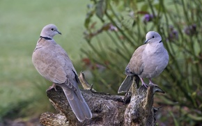 Picture pair, birds, tree, nature, stump, pigeons