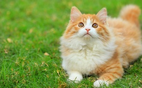 Picture greens, cat, grass, fluffy, white-red