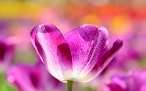 Picture macro, Tulip, spring, petals, meadow