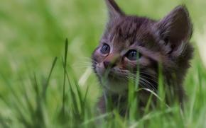 Wallpaper bokeh, muzzle, kitty, grass, wild cat, forest cat