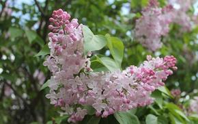 Picture flowers, Nature, lilac, Botanical garden, Kiev