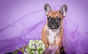 Picture purple, puppy, veil, French bulldog, hydrangea
