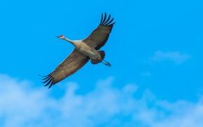 Picture the sky, Sandhill crane, flight, wings, bird
