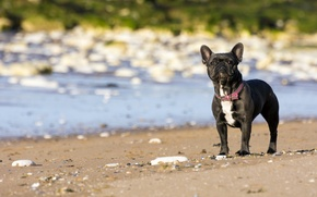Picture each, dog, French Bulldog