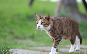 Wallpaper cat, summer, look, pug