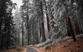 Picture road, forest, trees, landscape