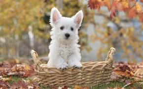 Wallpaper basket, puppy, leaves