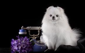 Picture white, phone, handsome, hydrangea, Spitz