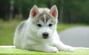 Wallpaper background, dog, puppy
