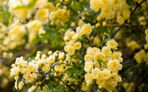 Picture branches, briar, flowering, flowers, Rose Banks