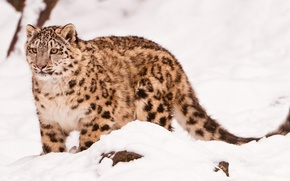 Wallpaper face, Sepia, IRBIS, snow leopard, snow leopard, is, looks, is, in the snow, uncia uncia, ...