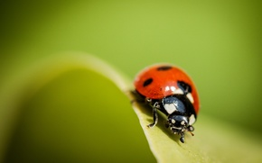 Wallpaper macro, nature, ladybug