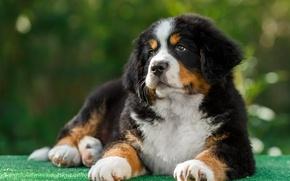 Picture St. Bernard, puppy, breed
