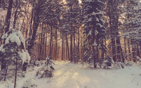 Picture forest, trees, winter, snow, sunlight, woodland