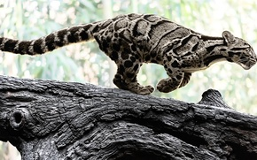 Picture nature, predator, color, log, wild cat, clouded leopard