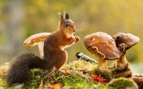 Wallpaper grass, berries, animal, bird, mushrooms, protein, Rowan, animal, rodent, tit