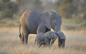 Picture Africa, elephants, Amboseli National Park, Twin Baby Elephants