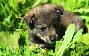 Picture dogs, grass, puppy