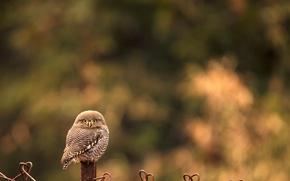 Picture animals, nature, owl, bird