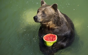 Picture sadness, look, water, animal, food, watermelon, bear, pond