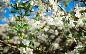 Picture cherry, bee, Spring, flowering
