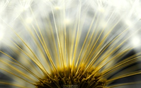 Picture the sun, dandelion, Flufenamic