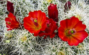 Picture flowers, red, red, flowers, Cactus, cactus