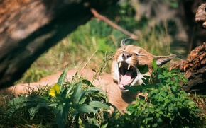 Picture cat, grass, mouth, yawns, Caracal, steppe lynx