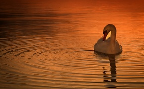 Picture sunset, nature, bird, Swan