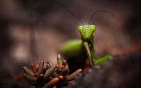 Picture macro, green, plant, mantis, insect