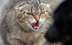 Picture cat, anger, dog