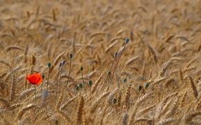 Wallpaper red, wheat, field, Mac, Maki, spikelets