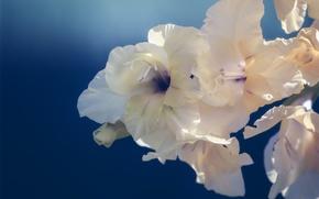 Picture background, macro, gladiolus