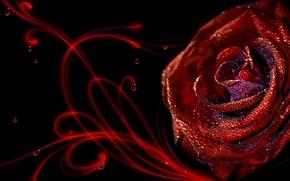 Wallpaper Rosa, Rose, drops