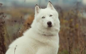 Picture beauty, dog, husky