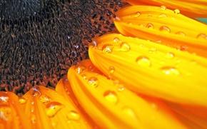 Picture macro, sunflower, sunflower