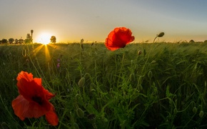 Picture field, the sky, grass, the sun, rays, sunset, flowers, Maki, petals, meadow