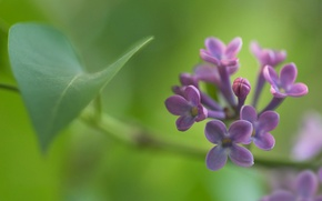 Wallpaper focus, macro, sheet, branch, flowers, Bud, blur, sprig, Lilac, spring