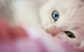 Picture macro, kitty, different eye colors, eline-w